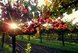Vineyards are within walking distance from the Napa Valley Railway Inn.